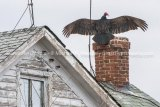 Turkey Vulture (Cathartes aura) with wings extended